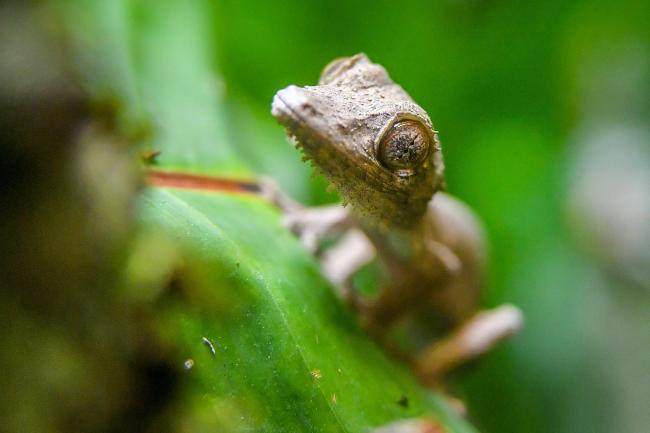 The as yet unnamed Henkel's leaf-tailed gecko (Ben Birchall/PA)