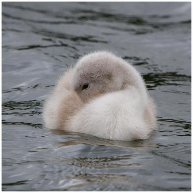 Barry And District News: ADORABLE: A shy, little cygnet in Cosmeston. Picture: Tina Haydon