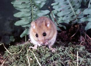 THE HUMBLE DORMOUSE: Could furry critters like this be the undoing of plans to extend Wenvoe Quarry? (Picture courtesy of the Woodland Trust archive)