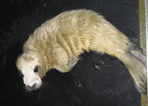 SEAL OF APPROVAL: The seal mum chose Barry as the pup's birthplace. Picture: RSPCA.