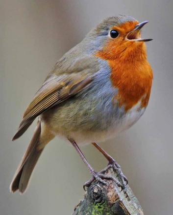 CLOSE UP: Singing robin by Christine Hayden.
