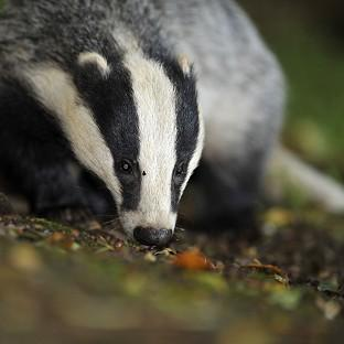 The Badger Trust sought a court ruling to block a new cull in Gloucestershire and Somerset without an independent expert panel