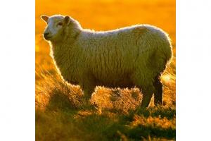 Dog owner cautioned for sheep death
