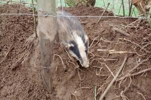 The badger when trapped in the snare