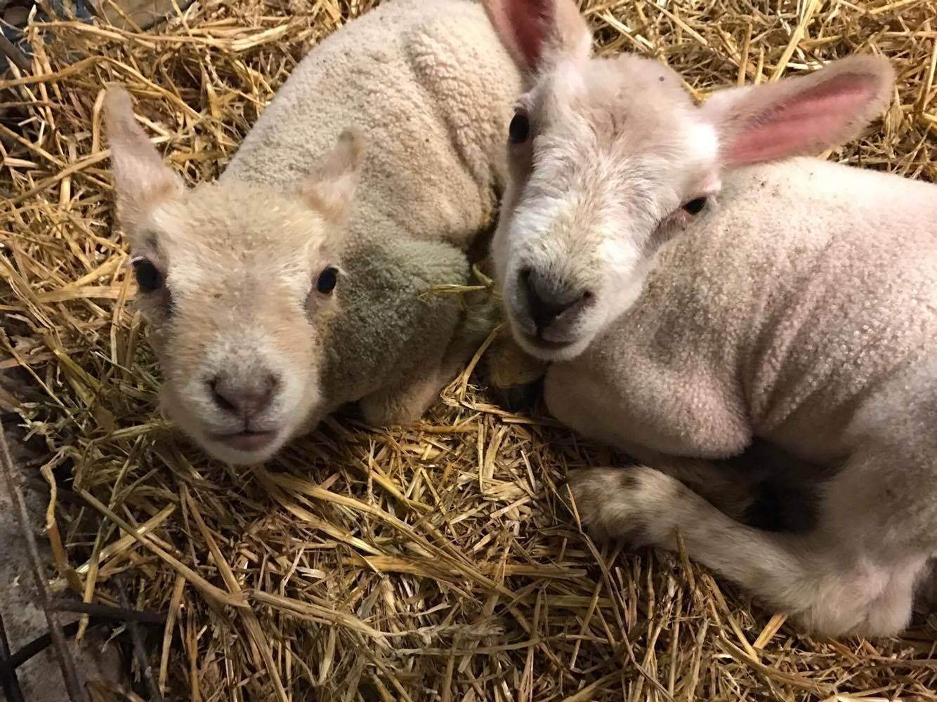 New lambs have joined the Amelia Trust Family